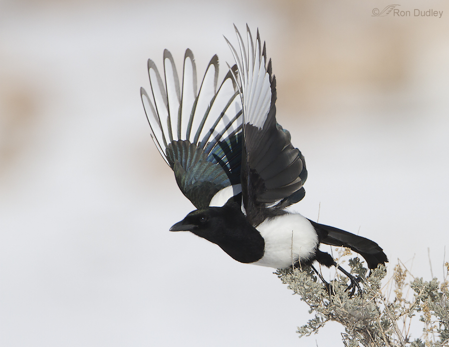 black billed magpie 7044 ron dudley