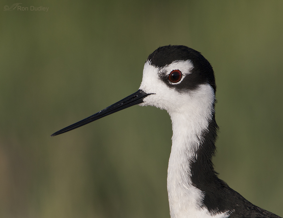 black necked stilt 1094 ron dudley