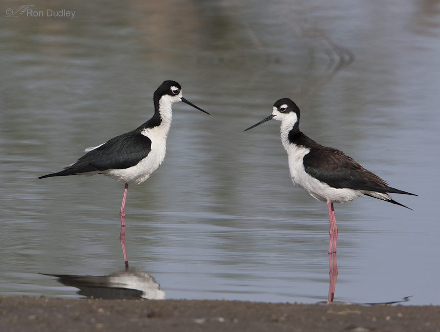 black necked stilt 5026 ron dudley