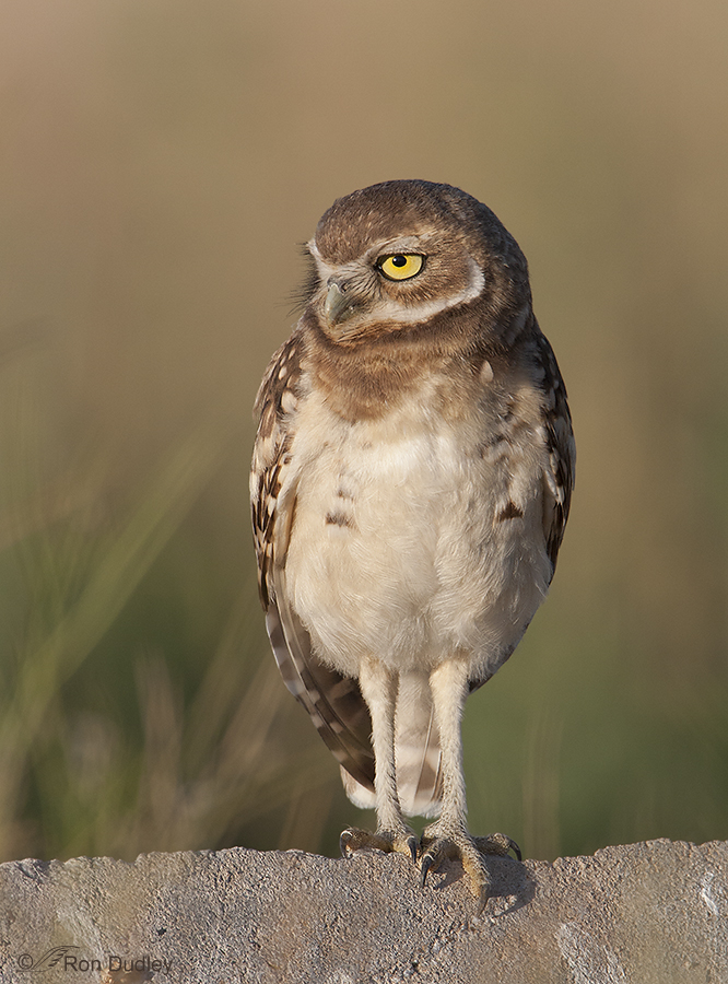burrowing owl 8909 ron dudley