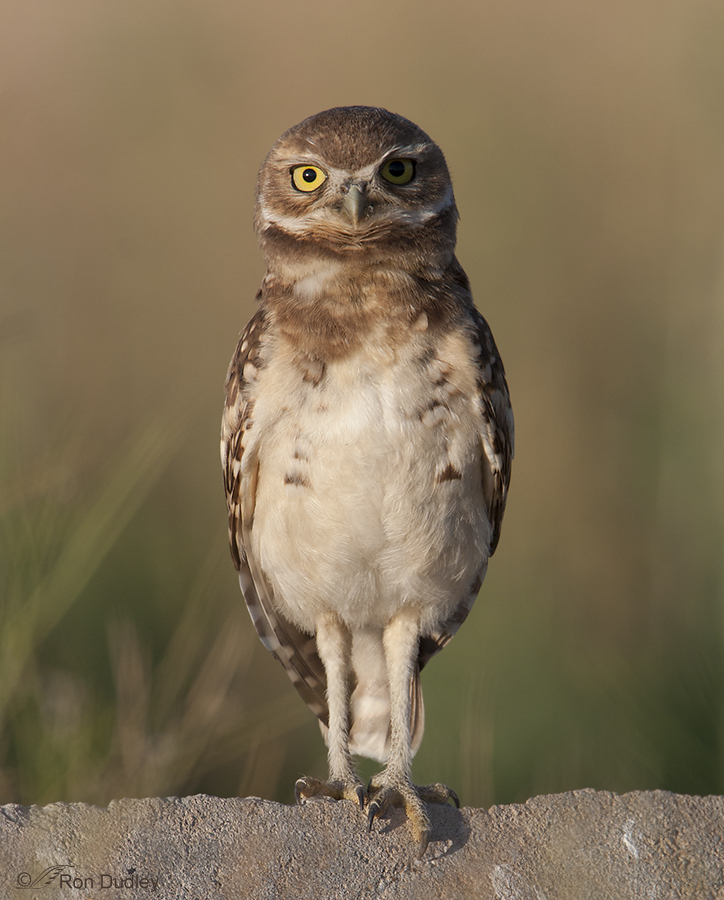 burrowing owl 8918 ron dudley