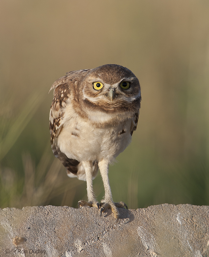 burrowing owl 8927 ron dudley