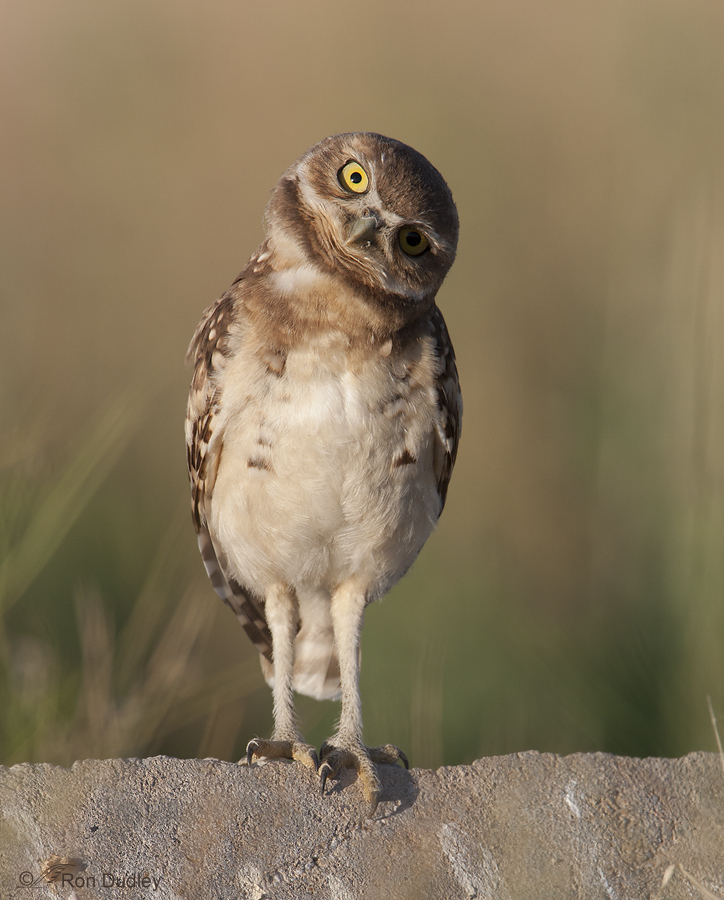 burrowing owl 8930 ron dudley