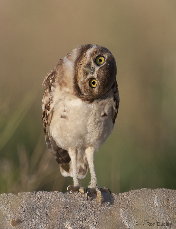 burrowing owl 8931 ron dudley