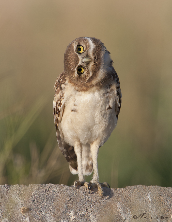 burrowing owl 8944 ron dudley
