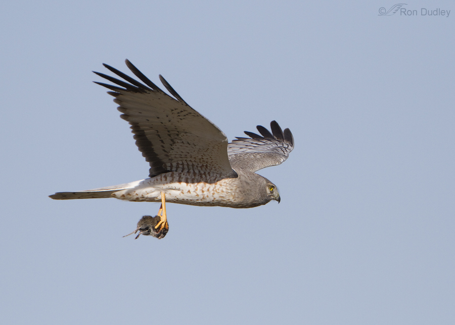 northern harrier 6735 ron dudley