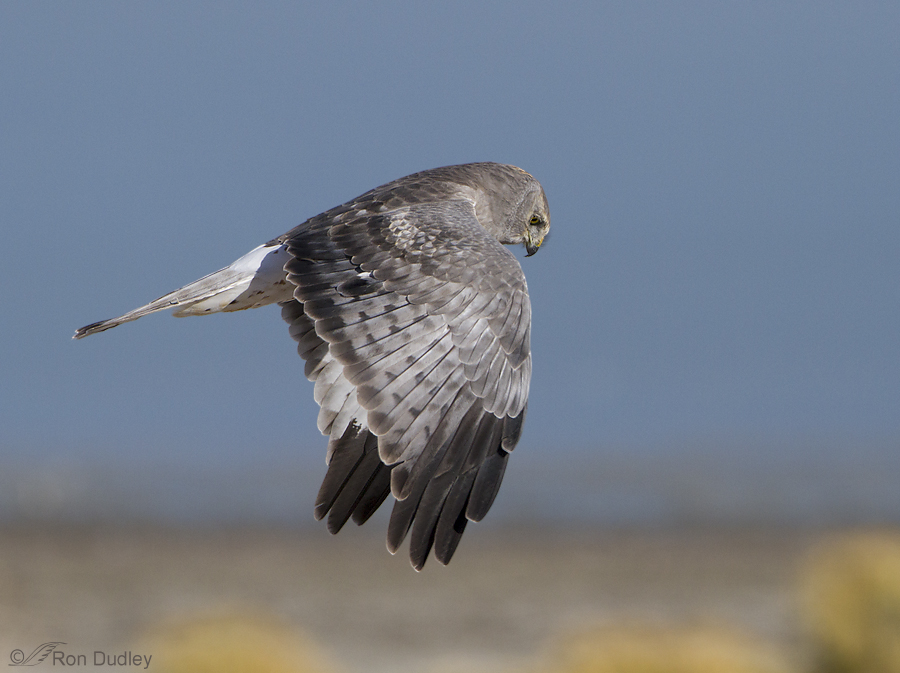 northern harrier 9740 ron dudley