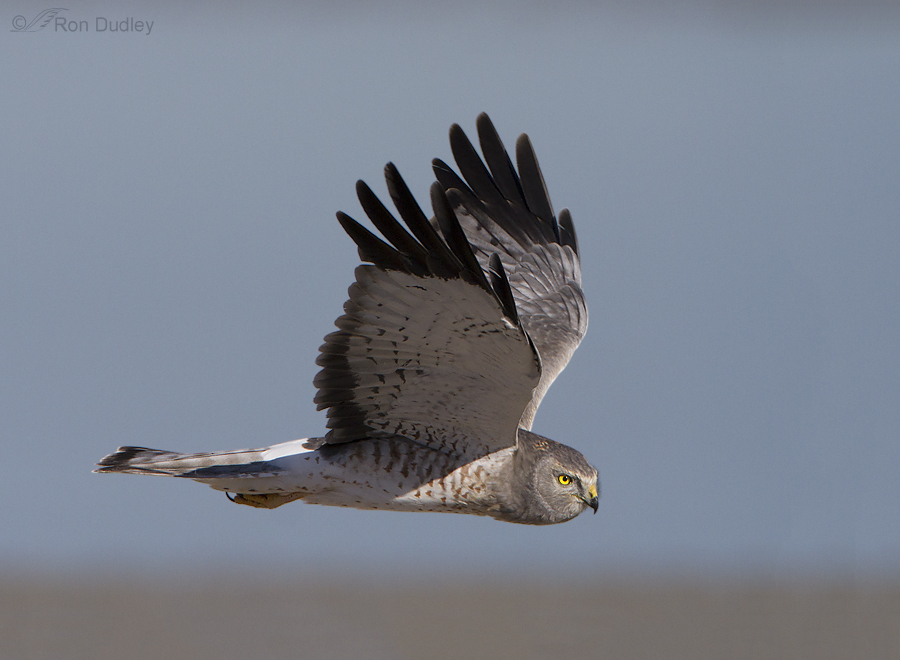 northern harrier 9822 ron dudley