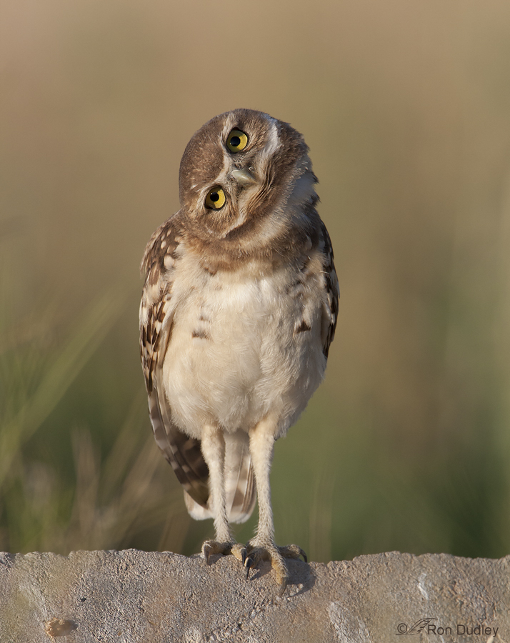 short eared owl 8941 ron dudley
