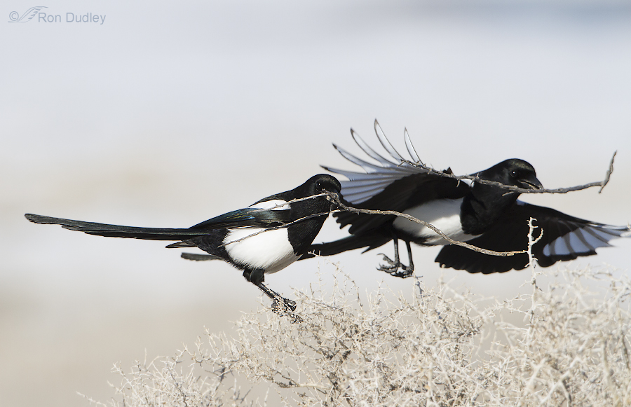 black billed magpie 8413 ron dudley