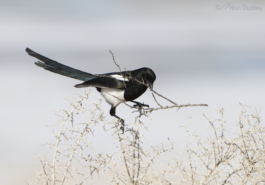 black billed magpie 8485 ron dudley