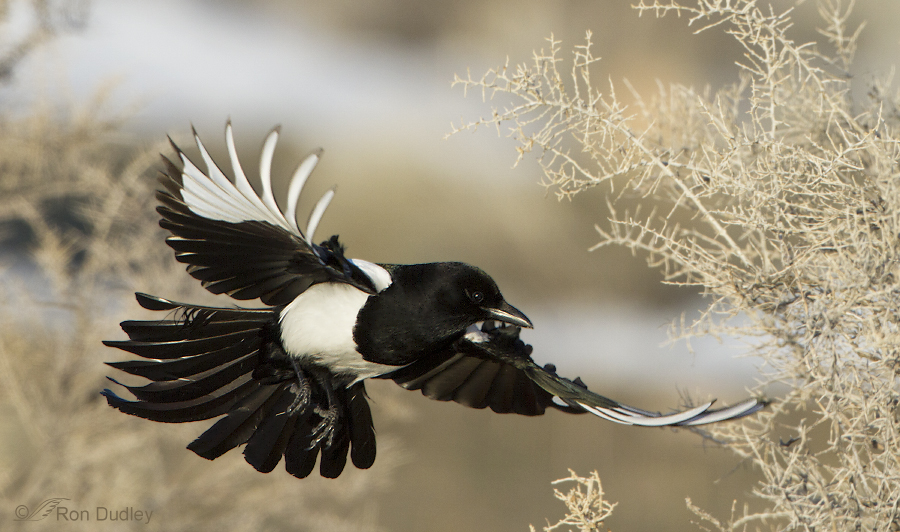 black billed magpie 8613 ron dudley