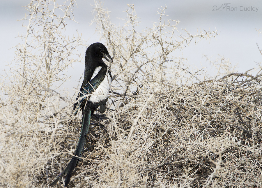 black billed magpie 8865-1 ron dudley
