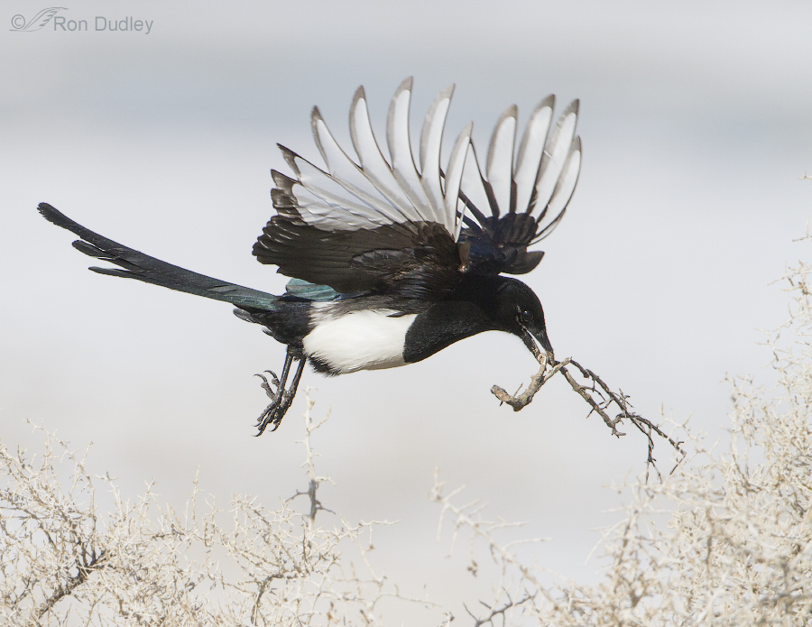 black billed magpie 8945 ron dudley