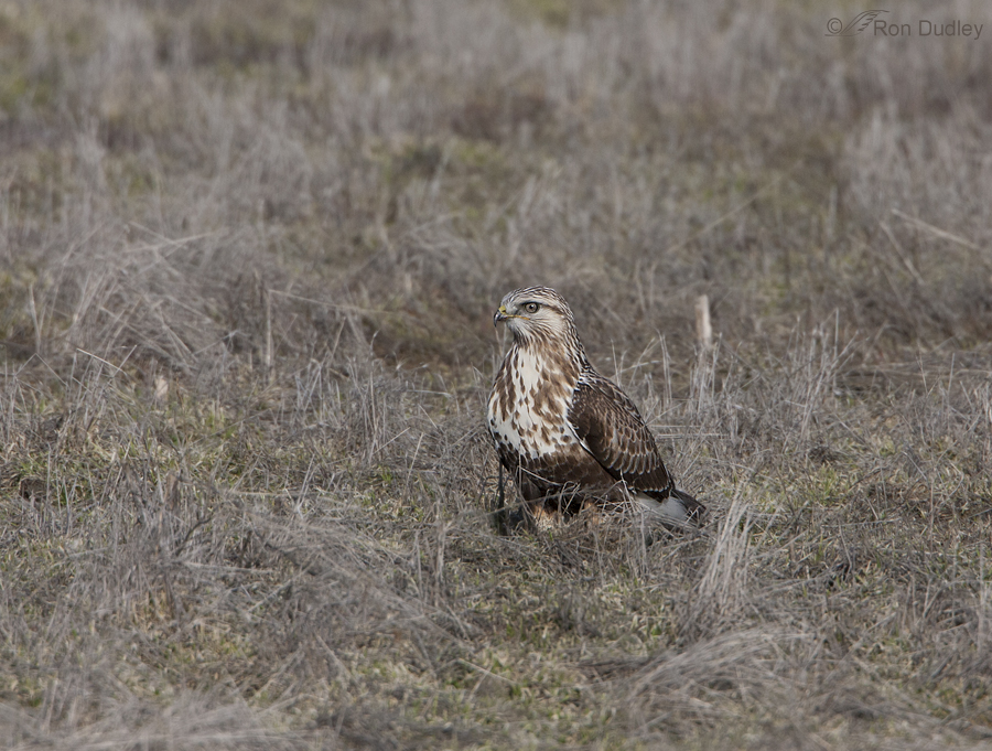 rough legged hawk 3293 ron dudley