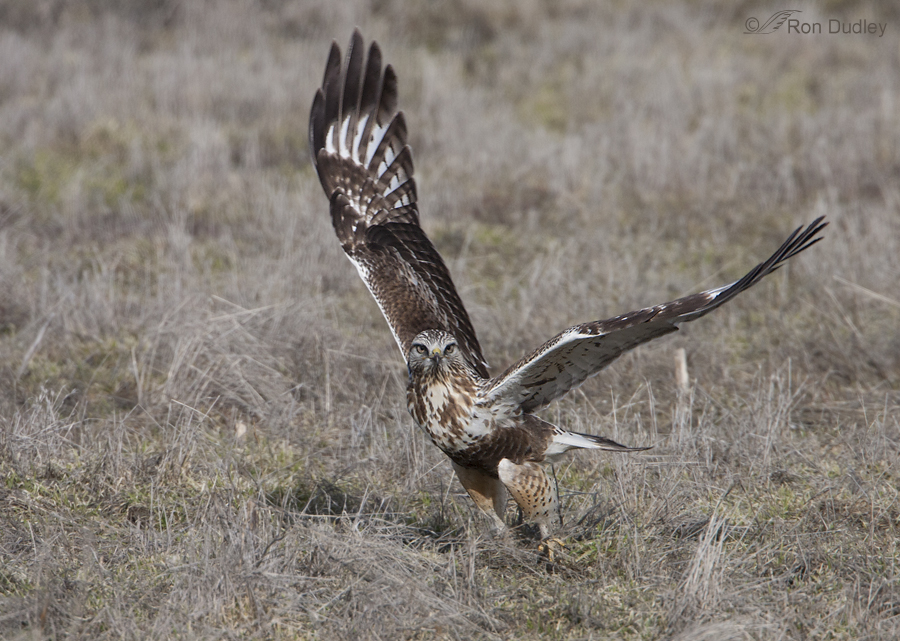rough legged hawk 3300 ron dudley