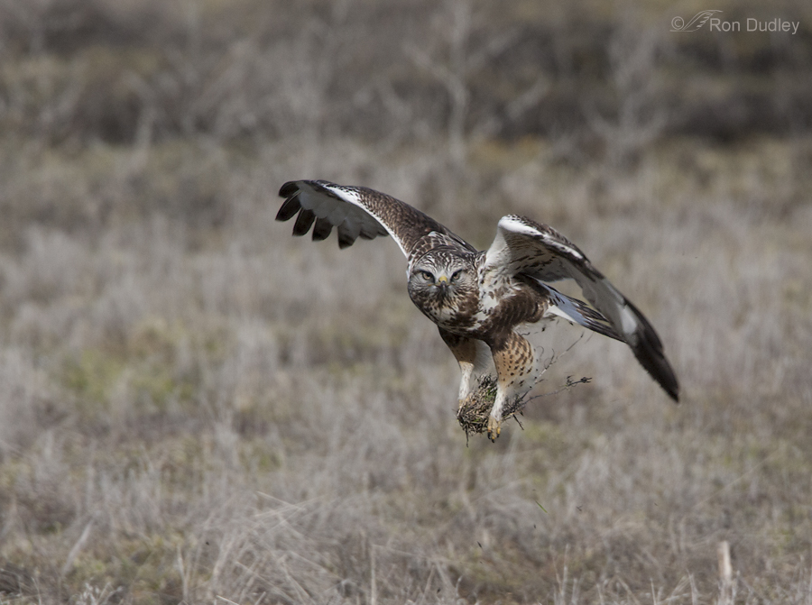 rough legged hawk 3303 ron dudley