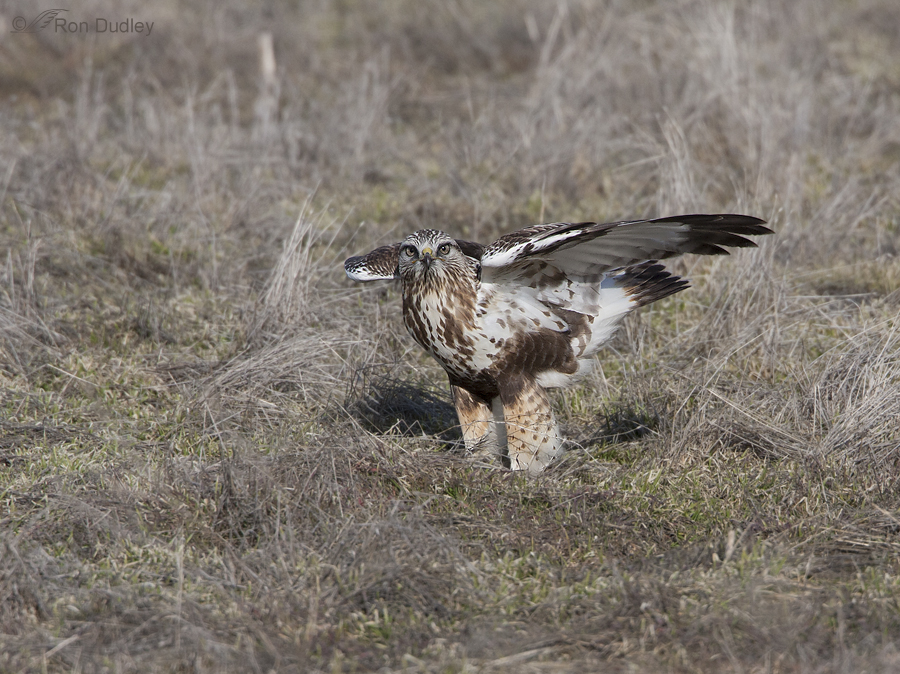 rough legged hawk 3308 ron dudley