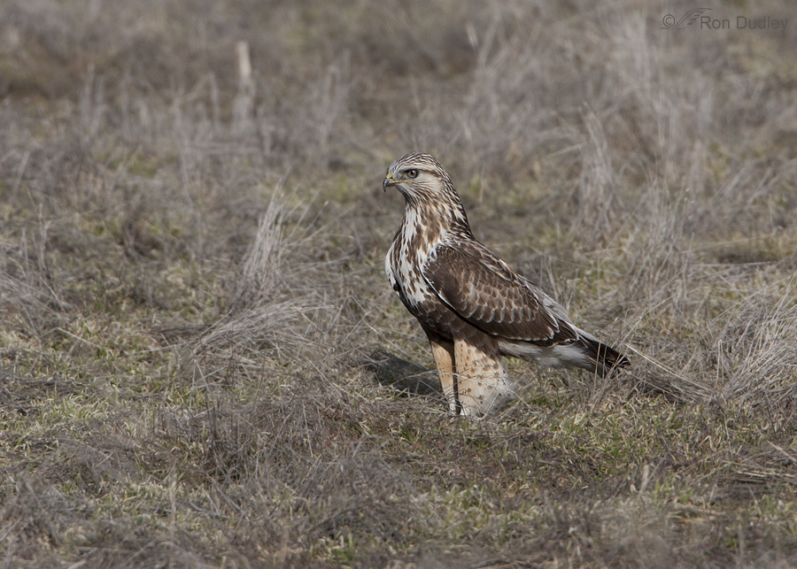rough legged hawk 3330 ron dudley