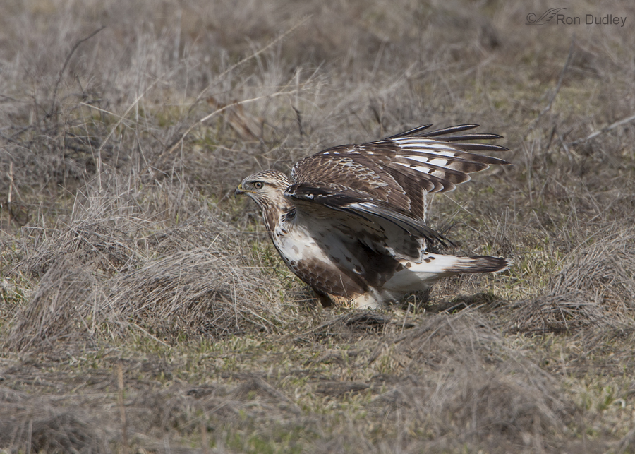 rough legged hawk 3352 ron dudley