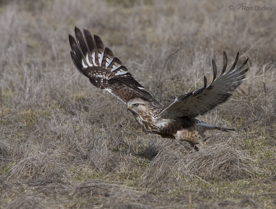 rough legged hawk 3377 ron dudley