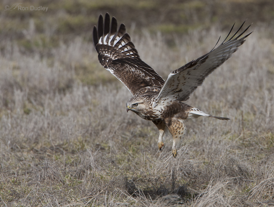 rough legged hawk 3380 ron dudley