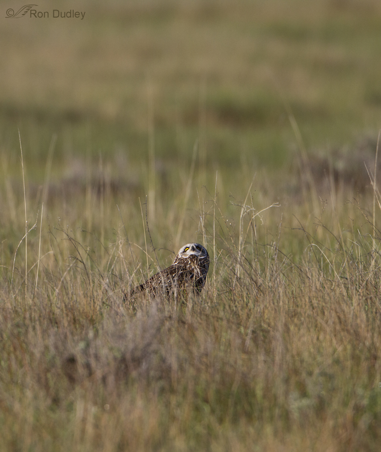 short eared owl 7258 ron dudley