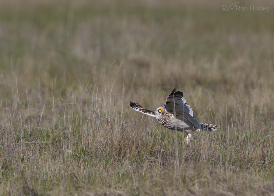 short eared owl 7425 ron dudley
