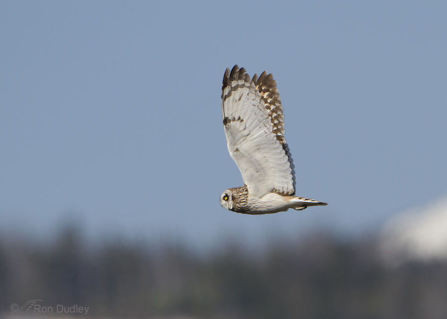 short eared owl 7549 ron dudley