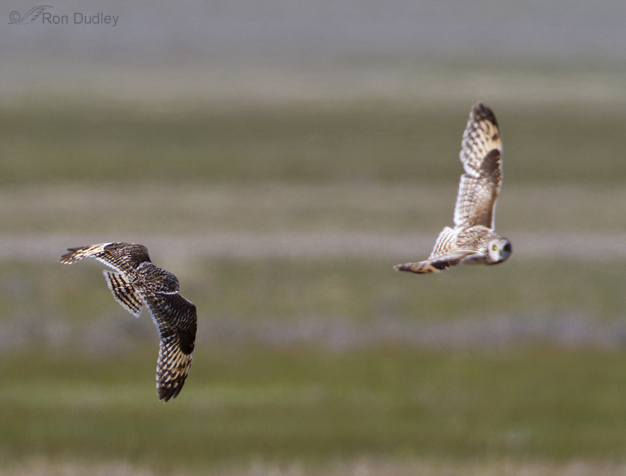 short eared owl 7611 ron dudley