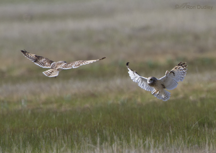 short eared owl 7658 ron dudley