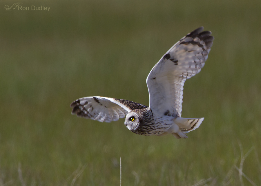 short eared owl 7724 ron dudley
