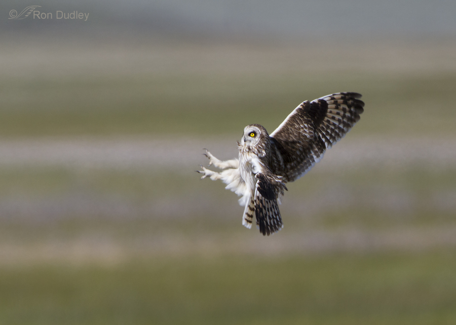 short eared owl 7737 ron dudley