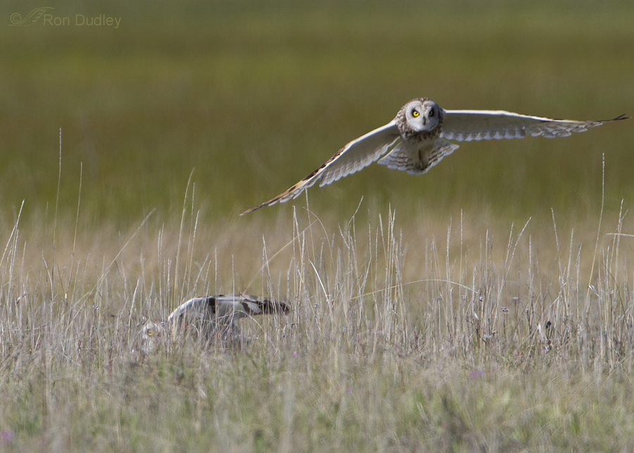 short eared owl 7752 ron dudley