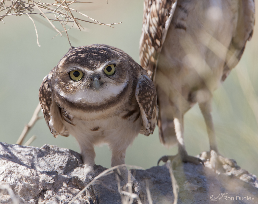 burrowing owl 9445 ron dudley