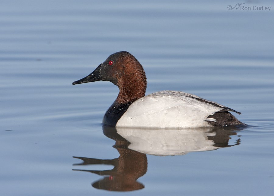 canvasback 5172 ron dudley