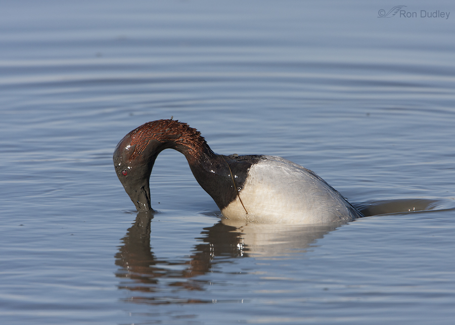 canvasback 5288 ron dudley