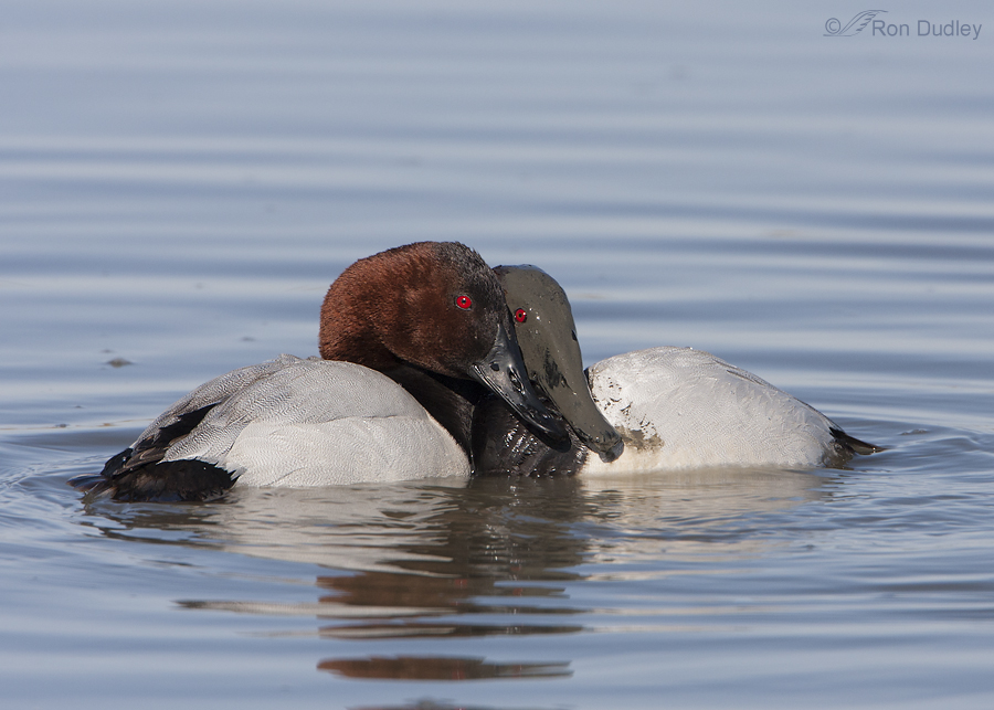 canvasback 5530 ron dudley