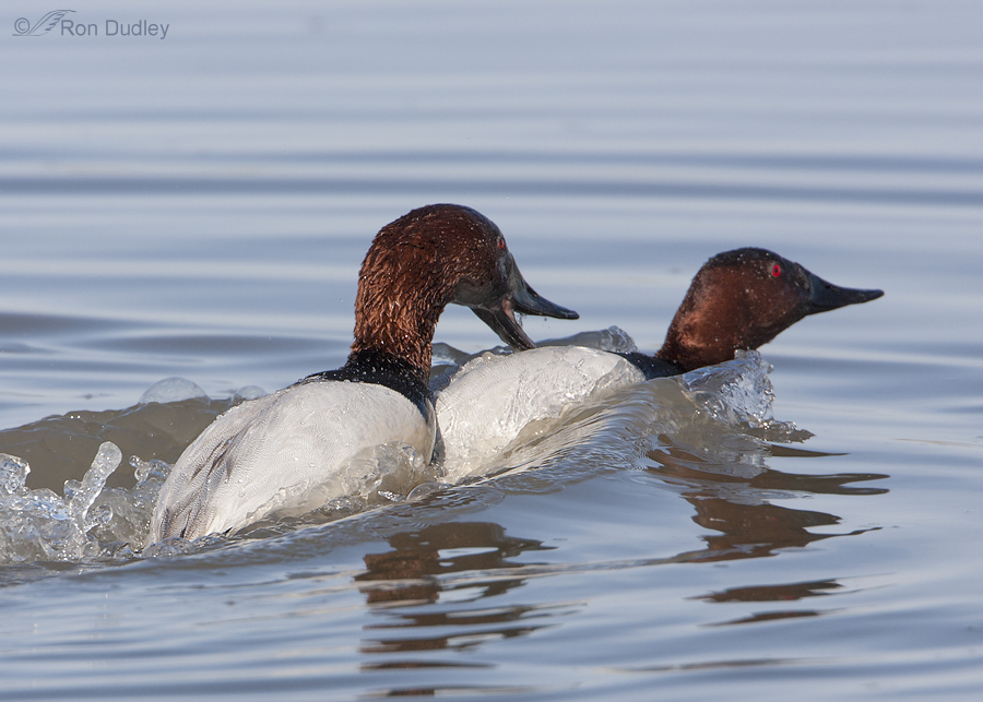 canvasback 5553 ron dudley