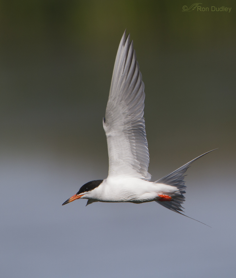 Forster's Tern 8882b ron dudley