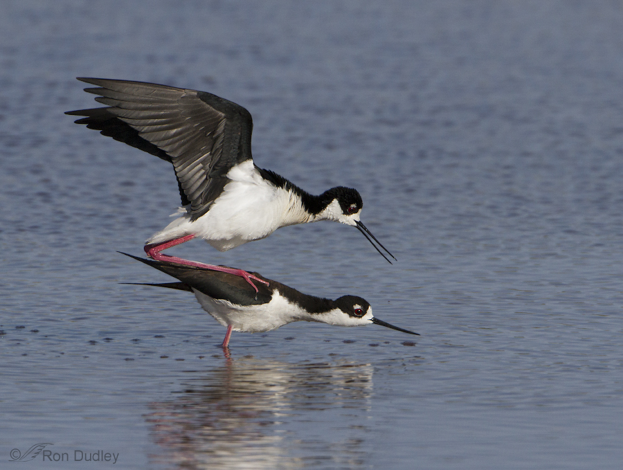 black necked stilt 2404 ron dudley