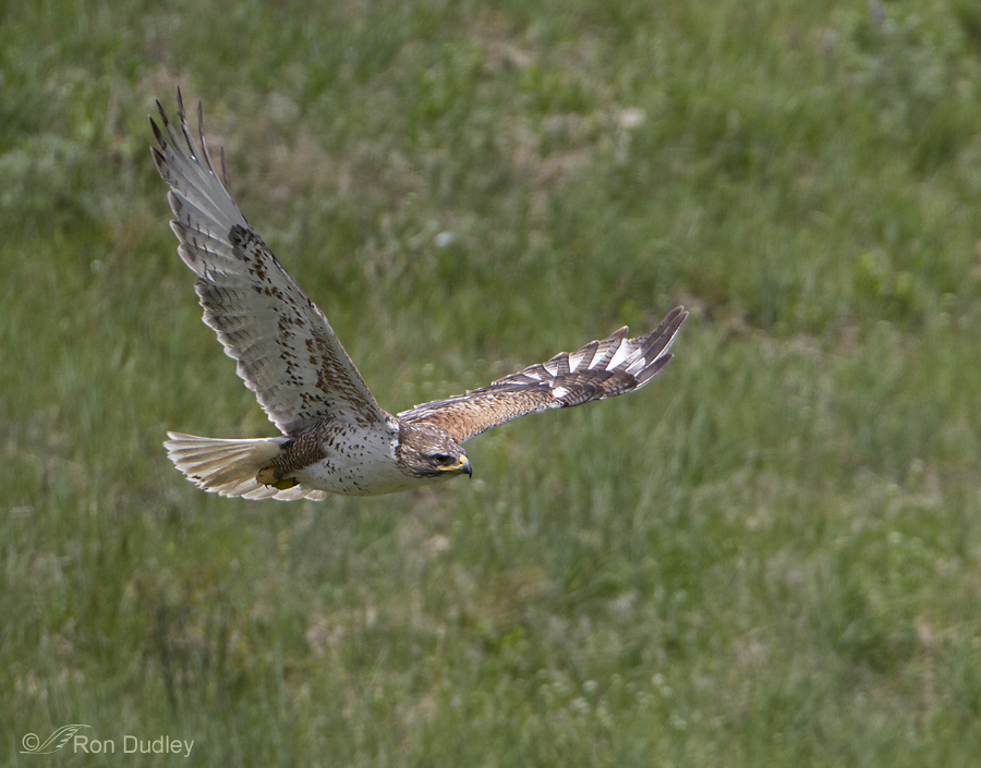 ferruginous hawk 7018 ron dudley