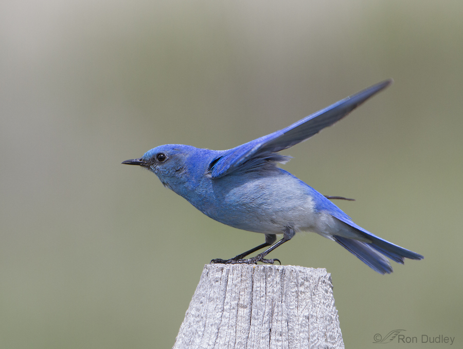 mountain bluebird 3609 ron dudley