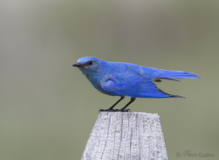mountain bluebird 3613 ron dudley