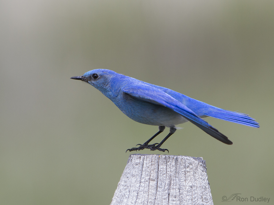 mountain bluebird 3614 ron dudley