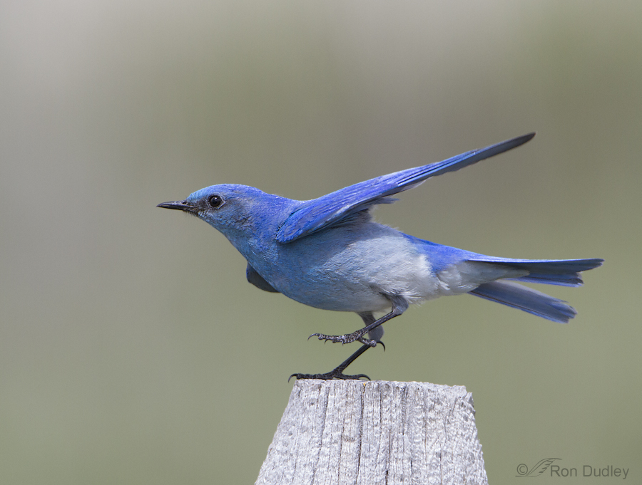 mountain bluebird 3616 ron dudley