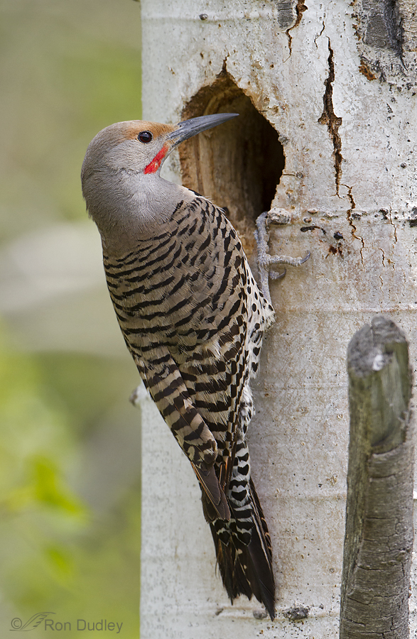 northern flicker 6189 ron dudley