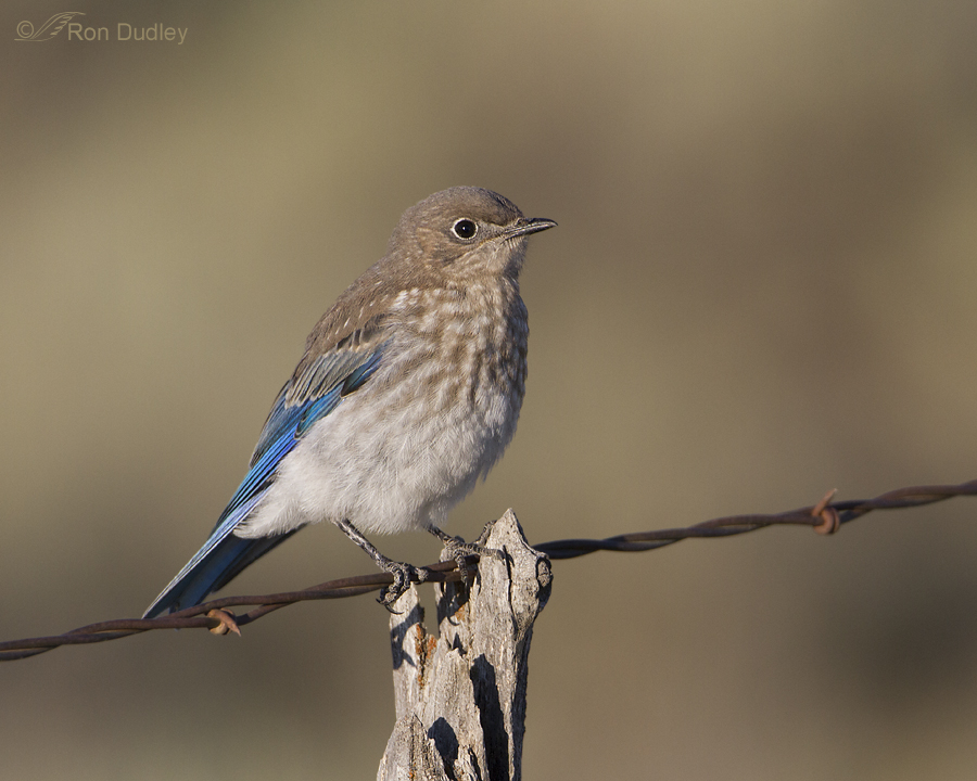 mountain bluebird 3218 ron dudley