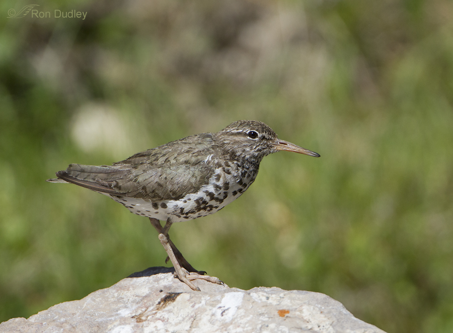 spotted sandpiper 3464 ron dudley
