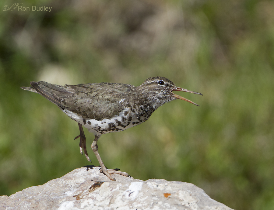 spotted sandpiper 3472 ron dudley